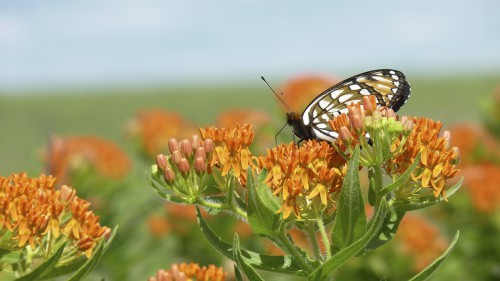 Butterfly milkweed is one of the outstanding flowering plants found in the Flint HIlls. Prized by Native Americans for its medicinal qualities, it has complicated flower clusters that bloom in June and are a treat for hummingbirds and monarch butterflys. (Photo by Lane Kendall)